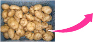 Potatoes are being checked after classified in groups of farmers.